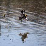 """Yellow Headed Blackbird 1597"" by rayjacque"
