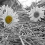 """Daisy"" by orangeandwhite923"