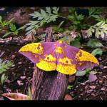 """IMPERIAL MOTH"" by Knight"