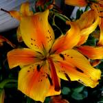 """""""Asiatic Golden Lilly 5838"""" by TomBellEagleWing"""