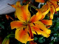 Asiatic Golden Lilly 5838