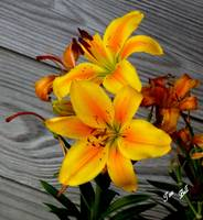 Asiatic Golden Lilly 5850