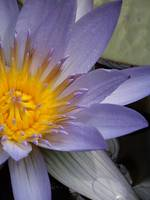 Modern Tranquility  - Water Lily II