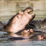 """""""Hippo"""
