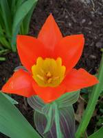 Ribbon-Wrapped Orange Tulip
