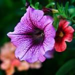 """Purple Petunia"" by ROBERTSCOTTPHOTOGRAPHYY"
