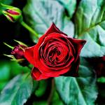 """""""Deep Red Spring Roses."""" by ROBERTSCOTTPHOTOGRAPHYY"""