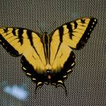 """Eastern tiger swallowtail butterfly"" by DearbornDesign"