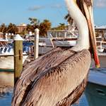 """Pelican Shyness"" by jkphotos"