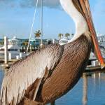 """Pelican World"" by jkphotos"