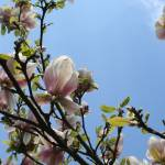 """magnolia tree"" by susanclark"