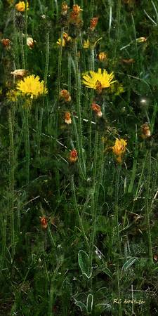 Hawkweed Straight and Tall