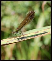 demoiselle damselflies - natural light