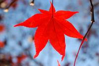 Red Leaf, Blue Sky