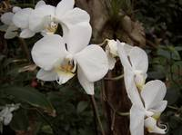 Orchidee bianche
