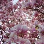 """Magnolia"" by BeatriceRescazzi"