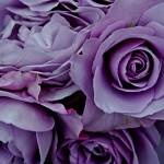 """Purple Roses"" by ThroughMyEye"