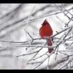 """Winter Cardinal"" by Kari-Gunter-Kremers"