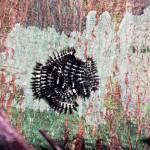 """""""Caterpillar Cotillon"""" by jeffreysphotos"""