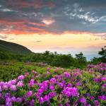 """Craggy Gardens Bloom - Rhododendron at Sunset"" by DAPhoto"