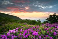 Craggy Gardens Bloom - Rhododendron at Sunset