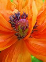 Floral - Orange Poppy Macro - Garden Flower
