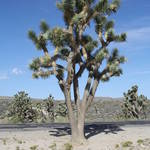 """Joshua Tree"" by Richard_Adams"