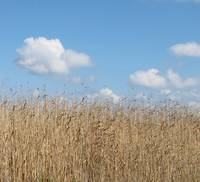 Tall Grass and Sky