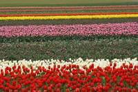 rainbow of tulips