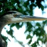 """Blue Heron"" by patjarrett"