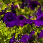 """Purple Petunias"" by benjaminclarkphotography"