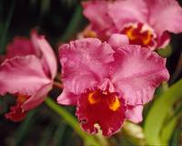 Red Moth Orchid Floral