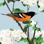 """Baltimore Oriole"" by waterart"