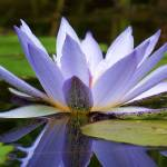 """Reflections of a Water Lily"" by PurpleSkyPhoto"