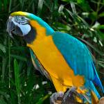 """Blue Gold Macaw"" by sandymaclean"