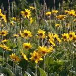 """""""Field of Arrow Leaf Balsom Root Flowers"""" by SamSherman"""