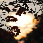 """Bougainvillea in the sunset"" by nurulphotography"
