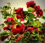 Rosebush by micspics444