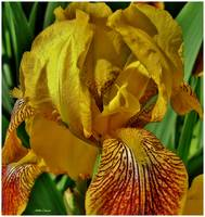 Golden Iris Closeup