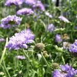 """""""Lavender Flowers"""" by PatriciaSanders"""