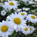 """White Daisies"" by PatriciaSanders"