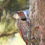 """northern flicker"" by dimagemaker"