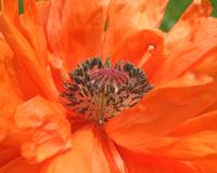 Orange Icelandic Poppy