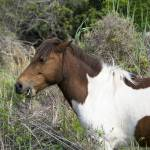 """Hungry Horse - Assateague Island"" by BrendanReals"