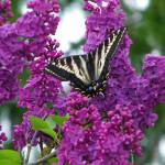 """Butterfly on Lilacs"" by mulanax"