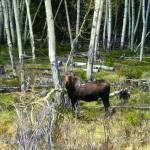 """Pregnant Moose in Wyoming"" by Persuaded"