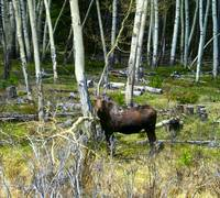 Pregnant Moose in Wyoming
