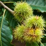 """Sweet Chestnut"" by Countryside-Photos"