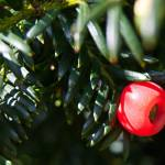 """Yew Tree Berry"" by Countryside-Photos"