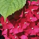 """Hydrangea Flower Head"" by Countryside-Photos"